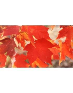 Acer rubrum 'Fairview Flame' - Narancsvörös őszi lombszínű vörös juhar (extra méretű koros)