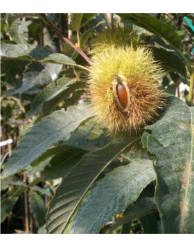 Castanea sativa x mollissima 'Precoce Migoule' - Szelídgesztenye