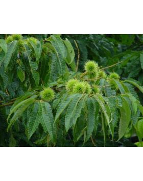 Castanea sativa x mollissima 'Vignols' - Szelídgesztenye