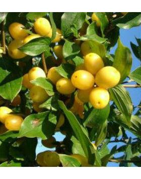 Cornus mas 'Lutea' - Sárga termésű som