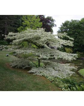 Cornus mas 'Argenteovariegata' - Fehér-tarka levelű som