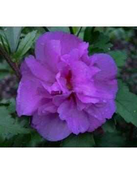Hibiscus syriacus 'Ardens' - Lila virágú mályvacserje