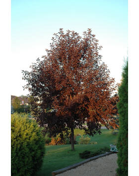 Prunus virginiana 'Canada Red' – Vörös levelű májusba