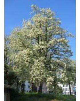 Robinia pseudoacacia 'Unifolia' - Fehér akác