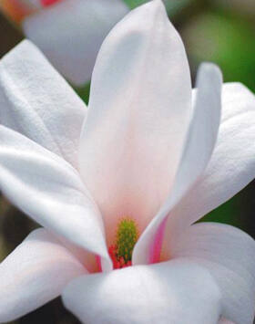 Magnolia 'Alba Superba' – Nagyvirágú liliomfa