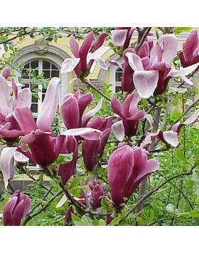 Magnolia 'Rickii' – Nagyvirágú liliomfa