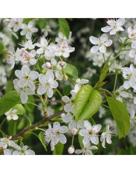 Prunus mahaleb 'Pendula' - Szomorú sajmeggy