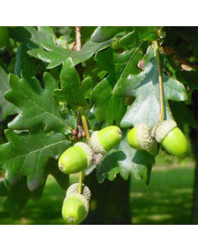 Quercus robur 'Szili szomorú' - Csüngő ágú kocsányos tölgy