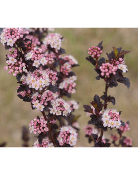 Physocarpus opulifolius 'Tiny Wine' – Magas törzsű hólyagvessző