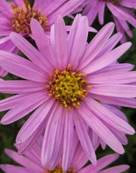 Aster amellus 'Rosa Erfüllung' - Rózsaszín csillagőszirózsa