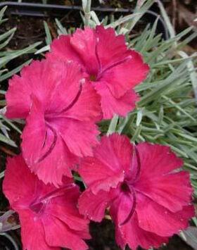 Dianthus gratianopolitanus 'Bombardier' - Skarlátpiros virágú pünkösdi szegfű