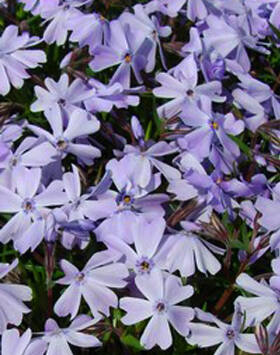 Phlox subulata 'Emerald Cushion Blue' - Világos kék árlevelű lángvirág