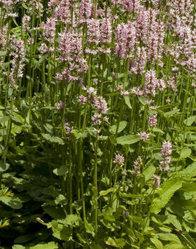 Stachys monieri 'Rosea' - Nagyvirágú tisztesfű