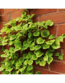 Hydrangea anomala 'Miranda' - Kúszó hortenzia