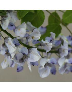 Wisteria floribunda 'Geisha' - Lilaakác (kék)