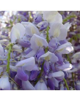 Wisteria floribunda 'Lavender Lace' - Lilaakác (kék-fehér)