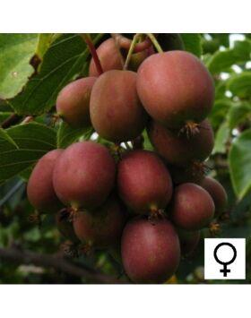 Actinidia arguta 'Ken's Red' - Bíbor mini termős kivi