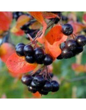 Aronia melanocarpa 'Viking' - Fekete berkenye