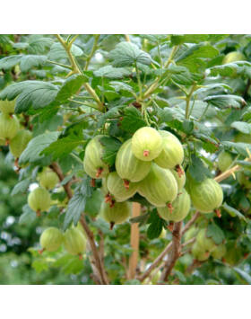 Ribes uva-crispa 'Pallagi Óriás' – Egres fa