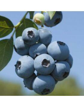 Vaccinium corymbosum 'Brigitta' - Magasbokrú kék áfonya
