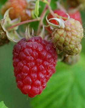 Rubus idaeus 'Malling exploit' - Málna