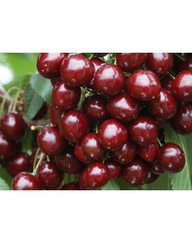 'Bigarreau Burlat cseresznye – Extra méretű koros cseresznye
