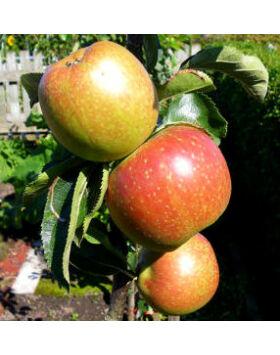 'Húsvéti rozmaring' régi almafajta