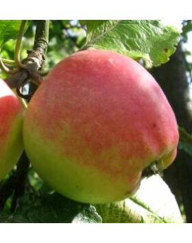 'Jászvadóka' régi magyar almafajta