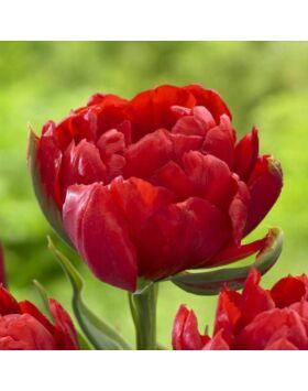 Teltvirágú tulipán 'Abba'