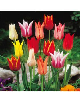 Liliomvirágú tulipán színkeverék