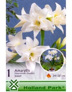 Hippeastrum 'Jewel'- Teltvirágú, fehér amarillisz