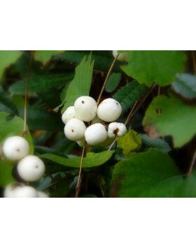 Symphoricarpos albus – Fehér Hóbogyó