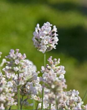 Lavandula angustifolia 'Aromatico Silver' - Fehér közönséges levendula