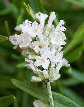 Lavandula angustifolia 'Artic Snow' - Fehér közönséges levendula