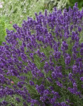 Lavandula angustifolia 'Aromatico Blue' - Sötét liláskék  közönséges levendula