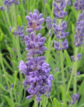 Lavandula angustifolia 'Blue Lance' - Sötét liláskék közönséges levendula