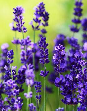 Lavandula angustifolia 'Ellagance Purple' - Liláskék közönséges levendula