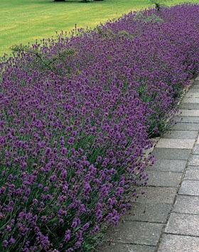 Lavandula angustifolia 'Munstead' - Sötét liláskék  közönséges levendula