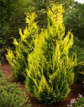 Chamaecyparis lawsoniana 'Ivonne' – Arany oregoni hamisciprus