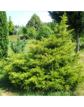 Juniperus chinensis 'Kuriwao Gold' – Aranylombú kínai boróka