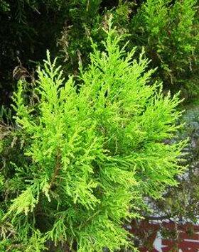Juniperus chinensis 'Kuriwao Sunbeam' – Kuriwao Napsugár kínai boróka