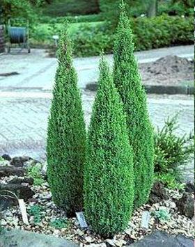 Juniperus communis 'Suecica Nana' – Törpe oszlopos ír boróka