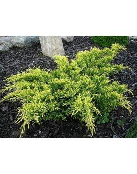 Juniperus media 'Dierks Gold' - Aranylombú terülő boróka