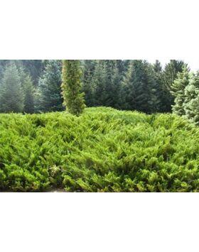 Juniperus virginiana 'Tripartita' - Terülő virginiai boróka