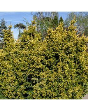 Taxus baccata 'Aurea' - Arany közönséges tiszafa