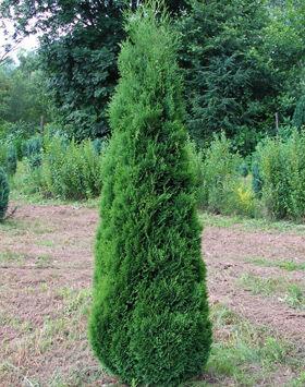 Thuja occidentalis 'Holmstrup' – Zöld, oszlopos nyugati tuja