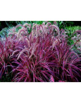 Pennisetum setaceum 'Rubrum' - Bordó levelű tollborzfű