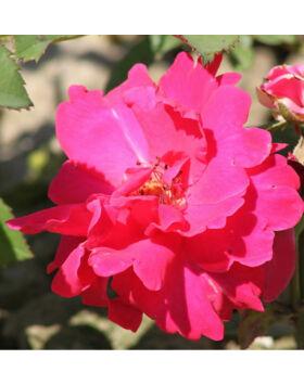 Rosa 'Anne Poulsen' - Karmazsinvörös virágágyi ágyás rózsa