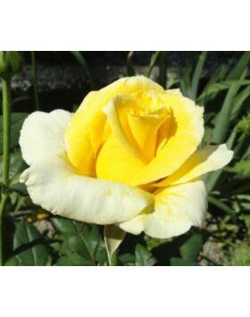 Rosa 'Golden perfume' - Sárga, magastörzsű rózsaoltvány