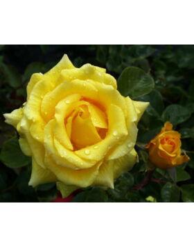 Rosa 'Mabella' - Sárga, magastörzsű rózsaoltvány